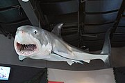 Great White Model at the Toledo Zoo.jpg