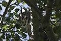 Great horned owl garr ranch antelope island (15497698736).jpg