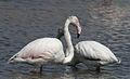 Greater Flamingo, Phoenicopterus roseus at Marievale Nature Reserve, Gauteng, South Africa (9711657114).jpg