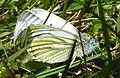 Green-veined White Butterflies (Pieris napi) (geograph 2919887).jpg