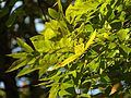 Green Ash - Flickr - treegrow (2).jpg