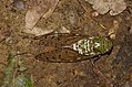 Green cicada Tibicen sp. (28410133834).jpg