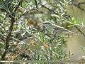 Greenish Warbler (Phylloscopus trochiloides) (50584988067).jpg
