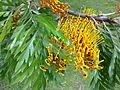 Grevillea robusta leaves and flowers 2.jpg