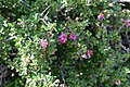 Grewia robusta (Malvaceae) (27061759962).jpg