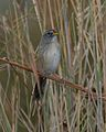 Grey-cheeked Grass-Finch (Emberizoides ypiranganus) - Flickr - Lip Kee.jpg
