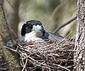 Grey Butcherbird. Cracticus torquatus on nest (15829469162).jpg