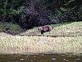 Grizzly on the Nekite River Estuary - panoramio.jpg