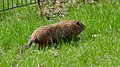 Groundhog (Marmota monax) - Montreal, Quebec 2019-05-12 (02).jpg