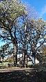 Grupa drzew, 4. dębów i 1. lipy na skraju lasu prudnickiego, Prudnik 2018.10.31 (06).jpg
