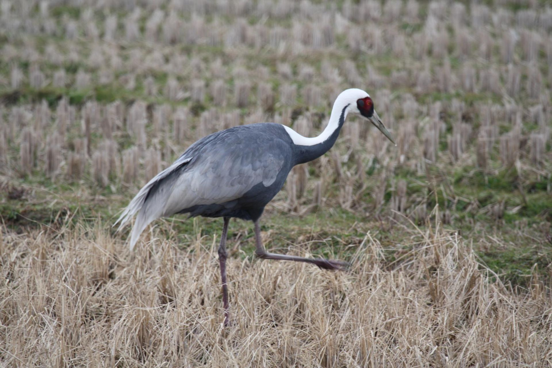 White naped crane wikipedia for The crain