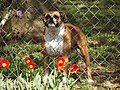 Guardian of the Tulips - panoramio.jpg