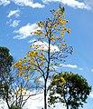 Guayacán amarillo (Tabebui a chrysantha) (14611066930).jpg