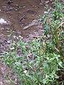 Gymnocoronis spilanthoides (Don) DC. (AM AK311971-2).jpg
