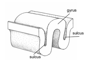 Sulcus (neuroanatomy) - Sulcus and gyrus.
