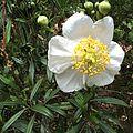 H20140424-1909—Carpenteria californica—RPBG (14054530502).jpg