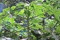HK 上環 Sheung Wan 永利街休憩花園 Wing Lee Street Rest Garden plant green papaya leave October 2017 IX1 (3).jpg