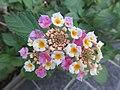 HK CWB 銅鑼灣道 Causeway Bay Road plant 馬纓丹 Lantana camara 火龍徑 Fire Dragon Path Nov 2017 IX1 colour small flowers 07.jpg
