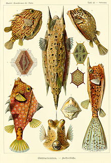 several boxfish including the longhorn cowfish