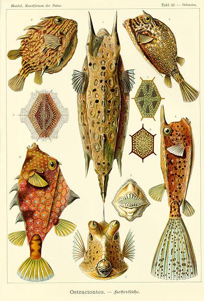 Файл:Haeckel Ostraciontes.jpg