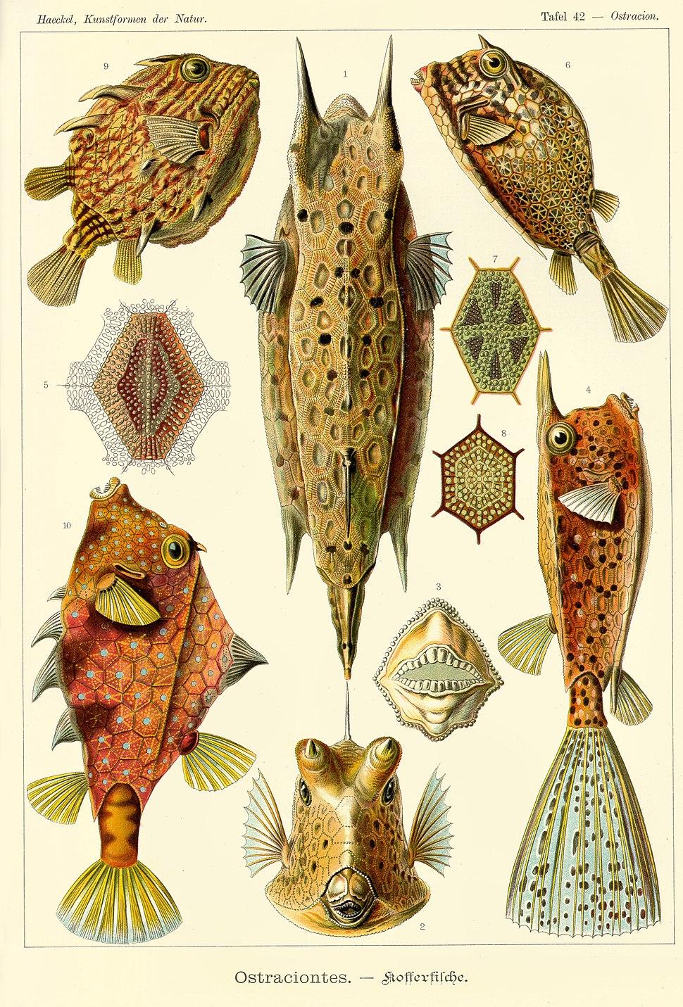 Haeckel Ostraciontes