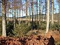 Hafren Forest - geograph.org.uk - 1113858.jpg