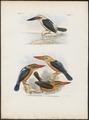 Halcyon melanorhyncha - 1863-1876 - Print - Iconographia Zoologica - Special Collections University of Amsterdam - UBA01 IZ16800107.tif