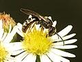 Halictid Bee (31056334263).jpg