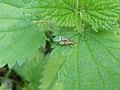 Harderbos - Groene bladsnuitkever (Phyllobius pomaceus).jpg