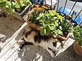 Harlequin patterned bicolor cats 2.JPG