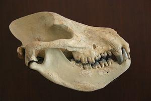 Mesonychid - Harpagolestes immanis skull
