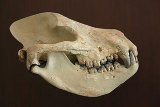 Mesonychid Extinct taxon of carnivorous ungulates