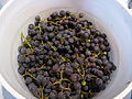 Harvested Concord Grapes.jpg