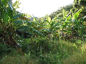 Blue Java banana - Blue Java banana strands in Maui, Hawaii.