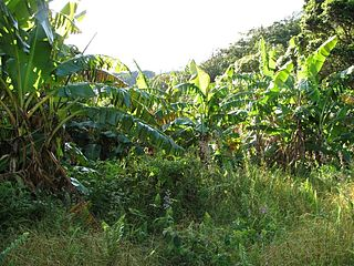 Blue Java banana Banana cultivar