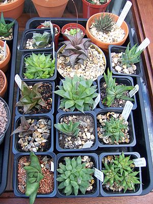 Haworthia - A selection of Haworthia plants in cultivation