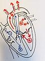 Heart circulation.jpg