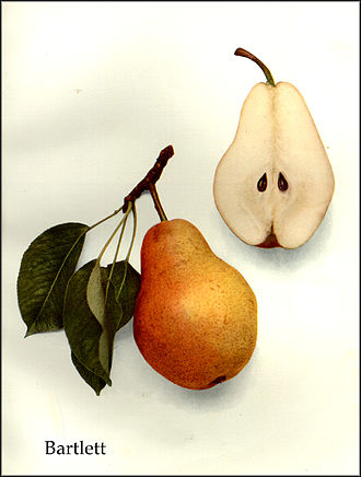 Williams pear - Bartlett pear, from The Pears of New York (1921) by Ulysses Prentiss Hedrick