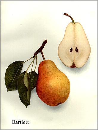 Enoch Bartlett - Bartlett pear, from The Pears of New York (1921) by Ulysses Prentiss Hedrick