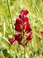 Hedysarum coronarium (flowers).jpg
