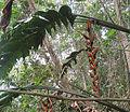 Heliconia pastazae (14365403168).jpg
