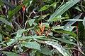 Heliconia psittacorum 17zz.jpg