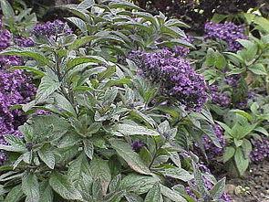 Vanilleblume (Heliotropium arborescens)