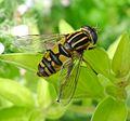 Helophilus pendulus. Syrphidae. Female - Flickr - gailhampshire.jpg