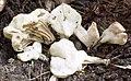 Helvella crispa (Scop.) Fr 244573.jpg