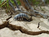 "Hemilepistus reaumuri lives in  ""the driest habitat conquered by any species of crustacean""."