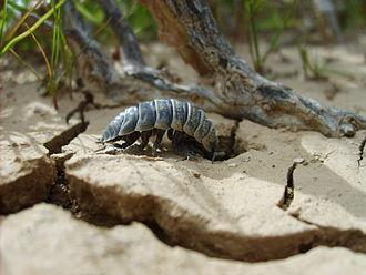"Woodlouse - Hemilepistus reaumuri lives in ""the driest habitat conquered by any species of crustacean""."