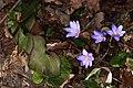 Hepatica nobilis 11.jpg