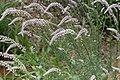 Hermbstaedtia argenteiformis -2423 - Flickr - Ragnhild & Neil Crawford.jpg