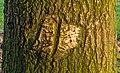 Herstelde wond van beschadiging veroorzaakt door een landbouwwertuig. Zomereik (Quercus robur). Locatie, Natuurterrein De Famberhorst 02.jpg